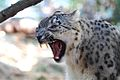 Snow Leopard -Taronga Zoo-8a.jpg