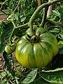 Solanales - Solanum lycopersicum - 46.jpg