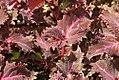 Solenostemon scutellarioides Plum Parfait 0zz.jpg