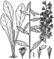 Solidago erecta drawing-1.png