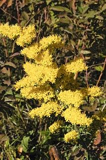 <i>Solidago nemoralis</i> species of plant
