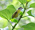 Sooty-capped Bush-Tanager (6901636480).jpg