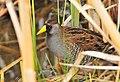 Sora on Seedskadee National Wildlife Refuge (27012526911).jpg