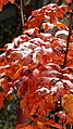 Sorbus Herbstlaub 13.jpg