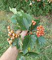 Sorbus torminalis S. badensis 170911.JPG