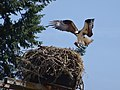 South Umpqua Osprey Robin Marshburn (23691119681).jpg