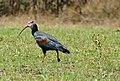 Southern Bald Ibis (Geronticus calvus) (32159142500).jpg