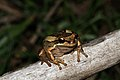Southern Brown Tree Frog (Litoria ewingi) (8909148303).jpg