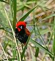 Southern Red Bishop (Euplectes orix) male (31918164274).jpg