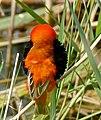 Southern Red Bishop (Euplectes orix) male (32720180556).jpg