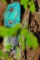 Southern Tree Agama (Acanthocercus atricollis) male (32658728343).jpg