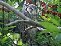 Southern White-faced Owl RWD.jpg