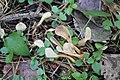 Spathularia flavida 85653663.jpg