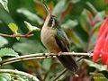 Speckled Hummingbird (Adelomyia melanogenys) 1.jpg
