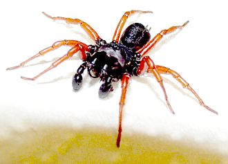 Spider taxonomy - Digitally enhanced image of a Sphodros rufipes that shows the nearly perfectly vertical orientation of the chelicerae, a prime characteristic of the Mygalomorphae.