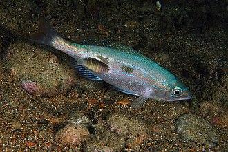 Isopoda - Anilocra (Cymothoidae) parasitising the fish Spicara maena, Italy