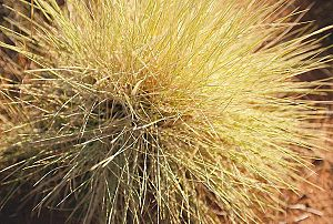 Spinifex resin - Spinifex (Triodia) plant