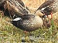 Spot-billed Duck Anas poecilorhynchamale by Dr. Raju Kasambe DSCN2834 (19).jpg