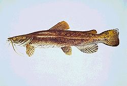 A detailed painting of a long brown fish with hairy whiskers on a blue background.