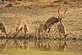 Spotted deer (2).jpg