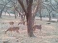 Spotted deer by tree, India, 2014.jpg