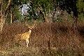 Spotted deer in front of me.jpg