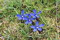 Spring Gentian - Gentiana verna (13123286355).jpg