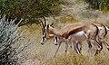 Springboks (Antidorcas marsupialis) females (6437056307).jpg