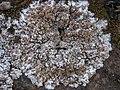 Squamarina lentigera (Weber) Poelt 244947.jpg