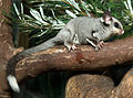 Squirrel glider (8065737191).jpg