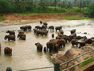 Sri Lankan elephant - Elephants at the Elephant Orphanage near Kandy