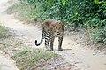 Srilankan Leopard.jpg