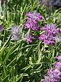 Stachys lavandulifolia Czyściec lawendolistny 2015 02.jpg
