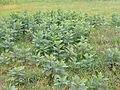 Stand of milkweed plants.JPG