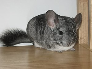 Chinchilla - Image: Standardchinchilla