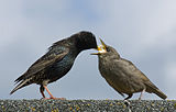Starling Feeding Offspring