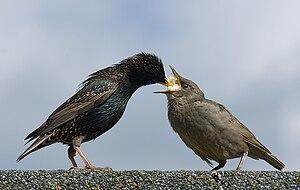 image of Starling Feeding Offspring