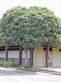 Starr-010419-0016-Filicium decipiens-habit-Kula Community Center-Maui (24505999876).jpg