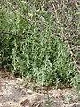Starr-020116-0039-Bassia hyssopifolia-habit-Kanaha Beach-Maui (24519630506).jpg