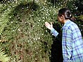 Starr-020221-0046-Erigeron karvinskianus-Kim inspecting habit in gulch-Polipoli-Maui (23919820533).jpg