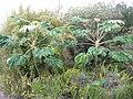 Starr-050321-5220-Tetrapanax papyrifer-habit-Kula Botanical Garden-Maui (24445352140).jpg