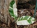 Starr-050407-6294-Musa x paradisiaca-Maoli Maia Manini Koae variegated keiki-Maui Nui Botanical Garden-Maui (24116898024).jpg