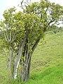 Starr-060429-8019-Charpentiera obovata-habit-Auwahi-Maui (24235606583).jpg