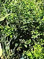 Starr-090514-7786-Ilex aquifolium-flowering and fruiting habit-Kula-Maui (24955159575).jpg