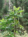 Starr-090521-8404-Bocconia frutescens-habit-Polipoli-Maui (24329627753).jpg