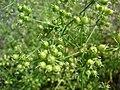 Starr-090601-8667-Coriandrum sativum-seed capsules-Ulupalakua greenhouse-Maui (24960830925).jpg