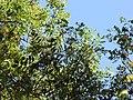 Starr-090623-1770-Tamarindus indica-leaves-Kaupo-Maui (24340476923).jpg
