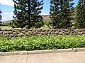 Starr-090707-2339-Lonicera japonica-habit-Waikapu Golf Course-Maui (24342076893).jpg