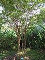 Starr-110330-3891-Myrciaria cauliflora-habit-Garden of Eden Keanae-Maui (24713227509).jpg