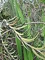 Starr-110331-4470-Banksia marginata-leaves-Shibuya Farm Kula-Maui (24963618932).jpg